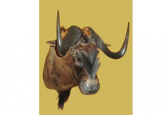 chuchelo-antilopy-gnu