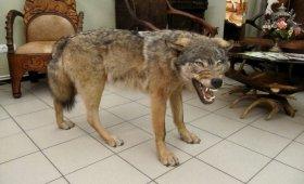 chuchelo-volka-napolnoe