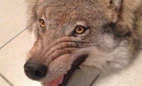 kover-iz-shkury-volka